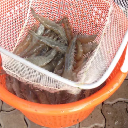 Can Probiotics Make Shrimp Farming More Environmentally Friendly?