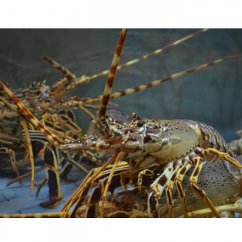 Pakan Pada Budidaya Lobster (Panulirus Spp)