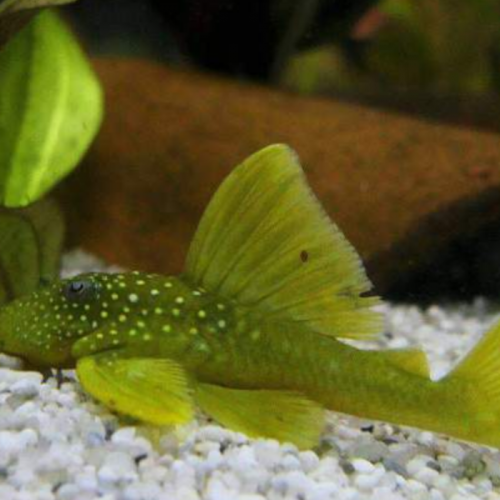 Biota Penting Lakukan Tugas Penting Bersihkan Aquarium