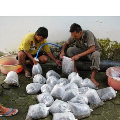 Pendistribusian Ikan Hidup dan Sistem Pengangkutannya (1)