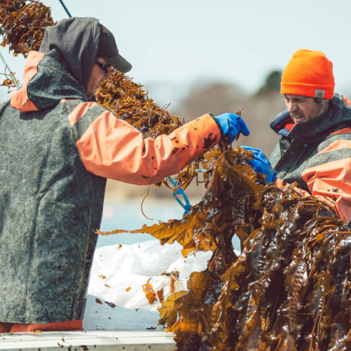 New England Lobster Fisheries Dip into Aquaculture