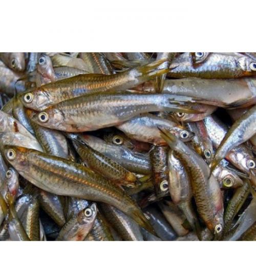 UGM Perluas Pengembangan Budi Daya Ikan Wader