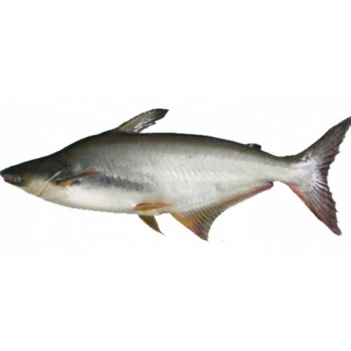 Ikan Patin Triploid : Otak-Atik Teknologi Lama