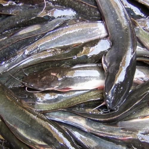 Cerita Budidaya Ikan Lele di Lahan Sempit Yogyakarta