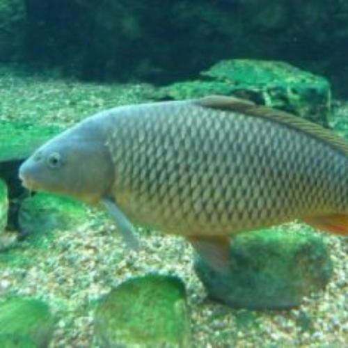 7 Jenis Ikan Mas Konsumsi