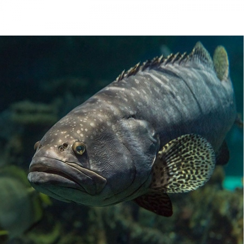 Profits are High Thanks to Intensive Farming of Grouper