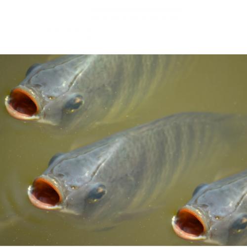 Fish nutrition Will Fuel Aquaculture's Future
