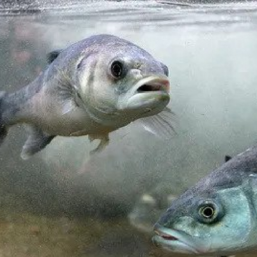 Seaweed Supplementation Shows Delayed Mortality in Farmed Seabass