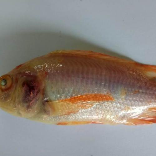 Tangkal TiLV Pada Ikan Nila Sejak Dini