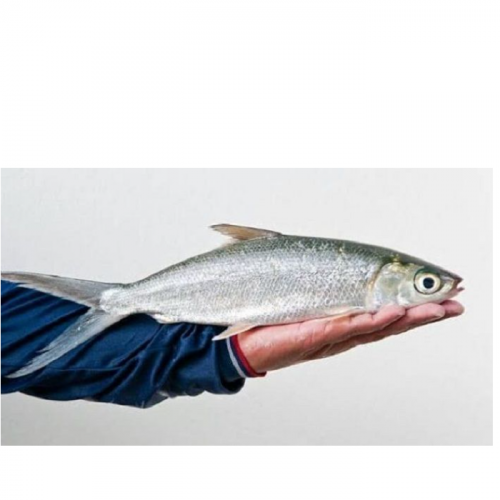 Cara Budidaya Ikan Bandeng Agar Jadi Usaha Menguntungkan Tapi Ramah Lingkungan