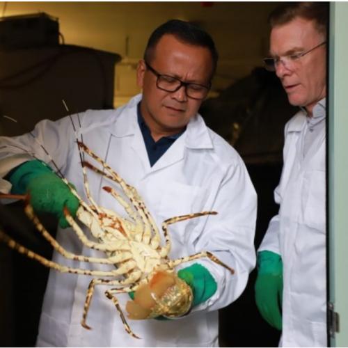 Menteri Edhy Jelaskan Alasan Pembukaan Ekspor Benih Lobster