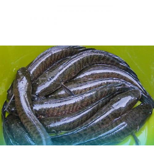 Persiapan Induk Ikan Gabus yang Perlu Dilakukan