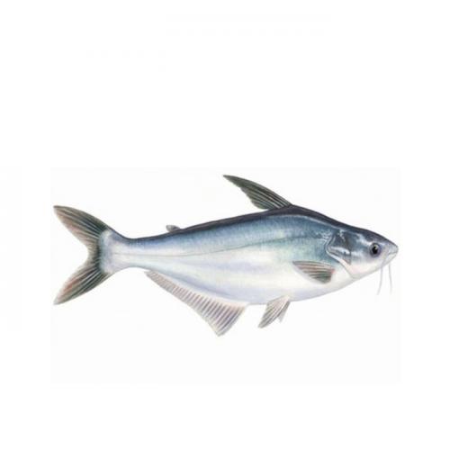 7 Manfaat dan Keunggulan Ikan Patin