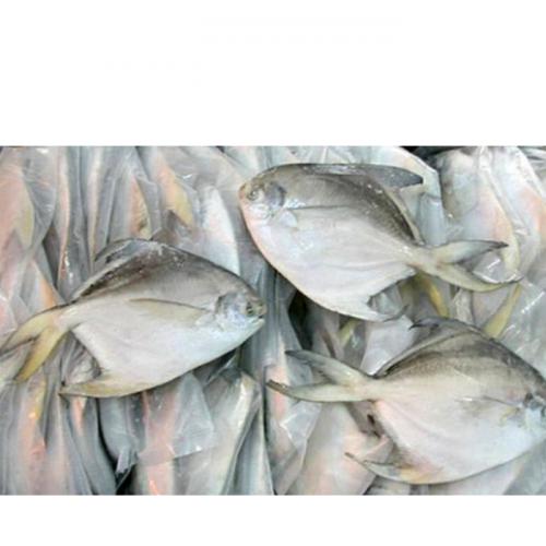 KKP Klaim Produksi Ikan Bawal Hybrid Unggul