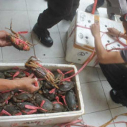 Dilirik Investor, Pengawasan di Instalasi Pembenihan Kepiting Tarakan Perlu Ditingkatkan
