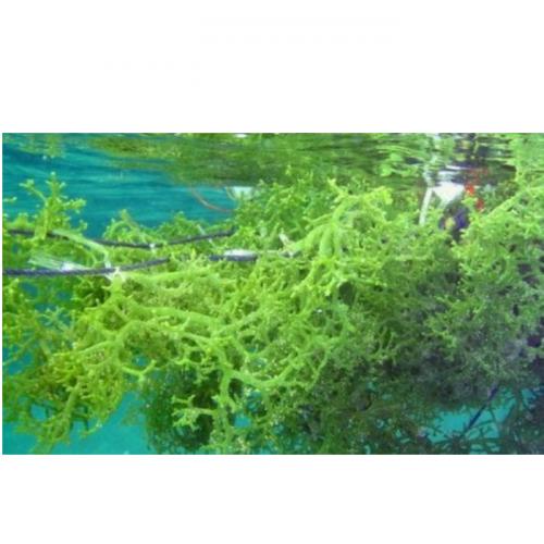 Budidaya Rumput Laut dengan Kantong Bersusun
