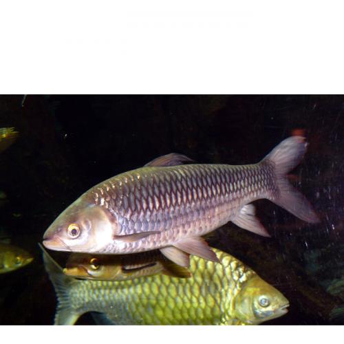 Pembenihan Ikan Jelawat