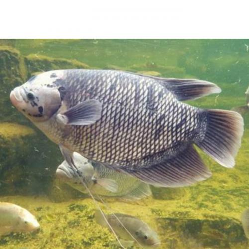 Membuat Sendiri Pakan Alternatif Ikan Gurami