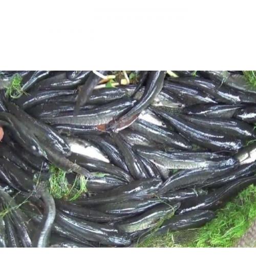 Budidaya Ikan Gabus di Kolam Terpal