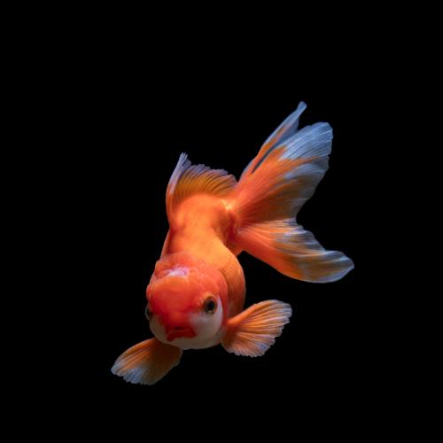 Persiapan Wadah dan Media Budidaya Ikan Mas Koki