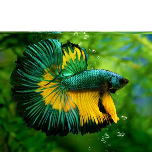 Kaleidoskop 2020: Ikan Hias Populer, Ada Cupang Sampai Killifish