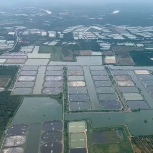 How to Tackle Major Shrimp Diseases