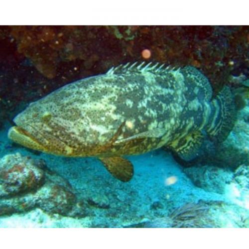 Cara Mudah Seleksi Induk Ikan Kerapu Macan
