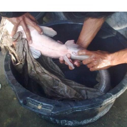 Cara Pemijahan Ikan Lele