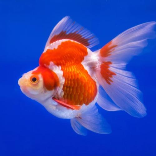 6 Jenis Ikan Mas Koki Termahal dengan Warna yang Cantik