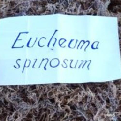 Ekspor Rumput Laut Spinosium 53,5 Ton ke Vietnam