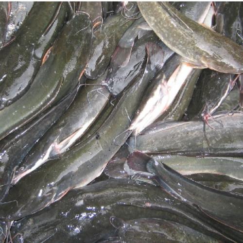 Pembenihan Ikan Lele Sangkuriang