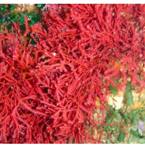 Mengenal Alga Merah Dan Manfaatnya Bagi Manusia