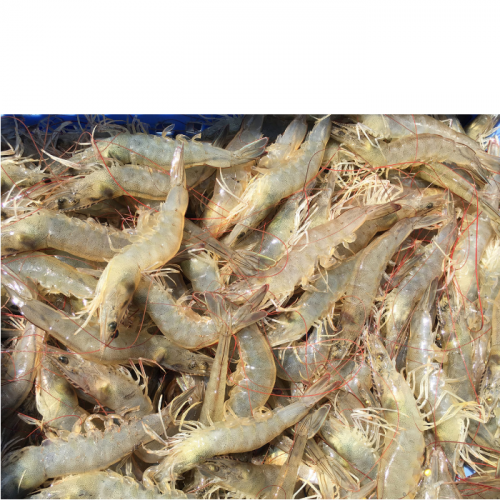 Environment, Bacterial Community Dynamics and White Feces Disease Outbreaks in Shrimp Ponds
