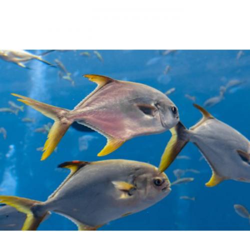 Pengelolaan Induk Ikan Bawal Bintang (Tranchinotus blochii)