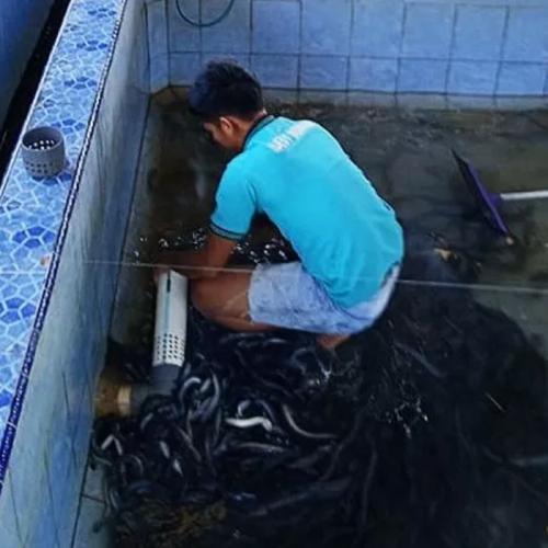 Sumatera Barat Kembangkan Ikan Sidat untuk Ekspor