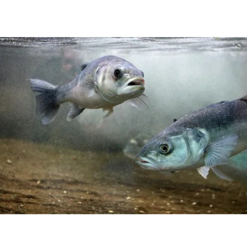 Research Backs Value of Adding Taurine to Fish Feeds