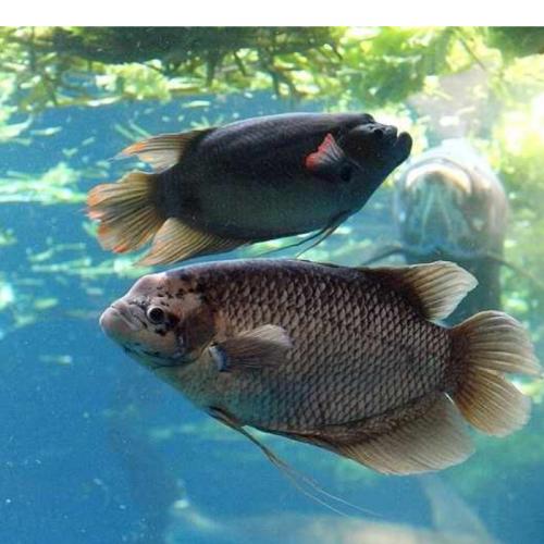 Cara Pemijahan Ikan Gurame