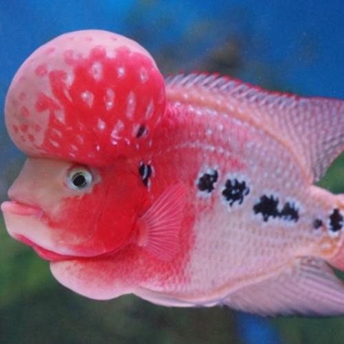 KKP Dukung Bogor Jadi Pusat Ikan Hias Terbesar di Indonesia