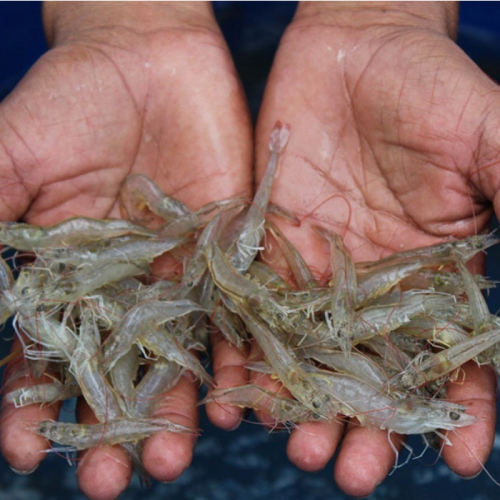 Integrated Farming of Mullet Improves Vannamei Growth