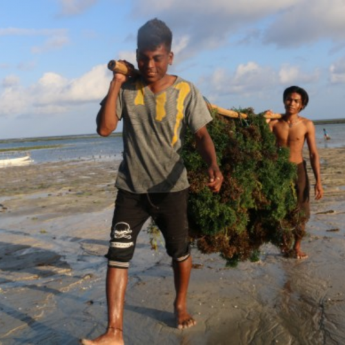 KKP Pacu Pengembangan Daya Saing Rumput Laut Nasional