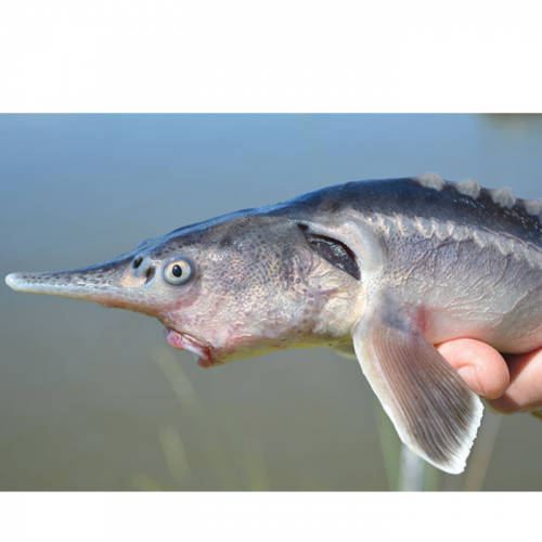 Scientists Accidentally Create New Fish