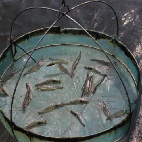 Research Backs Value of Probiotics in Shrimp Ponds