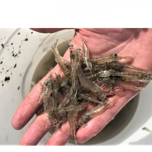 Pacific White Shrimp Responses to Low Salinity Temperature Fluctuations
