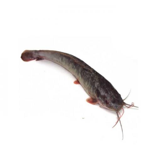 Morfologi dan Klasifikasi Ikan Lele (Clarias)