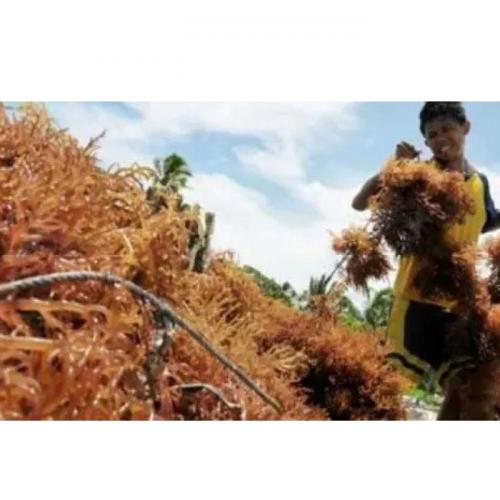 Tingkatkan Ekonomi Pesisir, Roadmap Industri Rumput Laut Dirancang