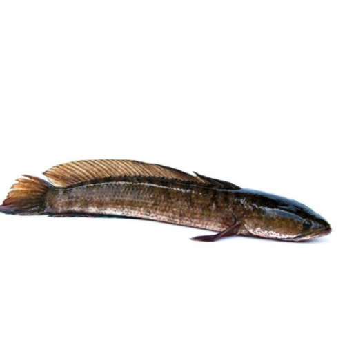 Ikan Gabus Mengandung Albumin, Ini Manfaatnya untuk Ibu Hamil