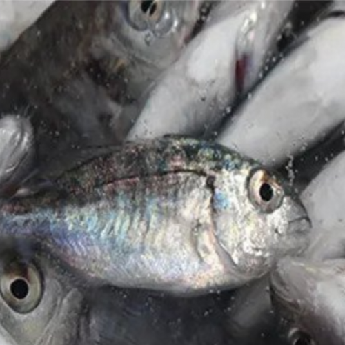 Improving Profitability and Production Efficiency in Seabass and Sea Bream