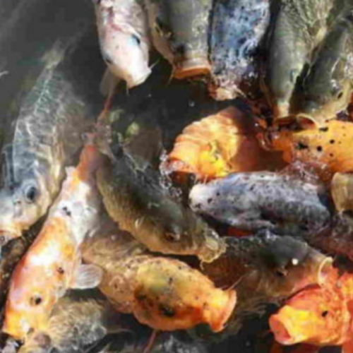 Usaha Budidaya Ikan Mas di Kolam Terpal Agar Cepat Panen