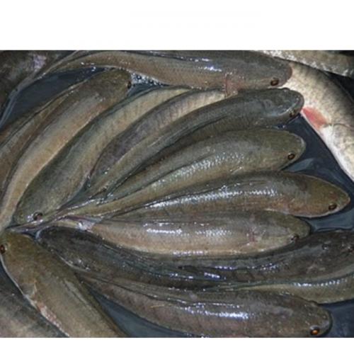 Pemijahan Ikan Gabus (Channa striata)