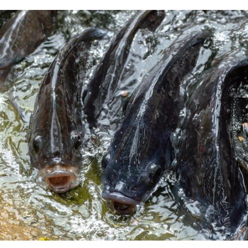 Budidaya Ikan Nila di Kolam Air Deras
